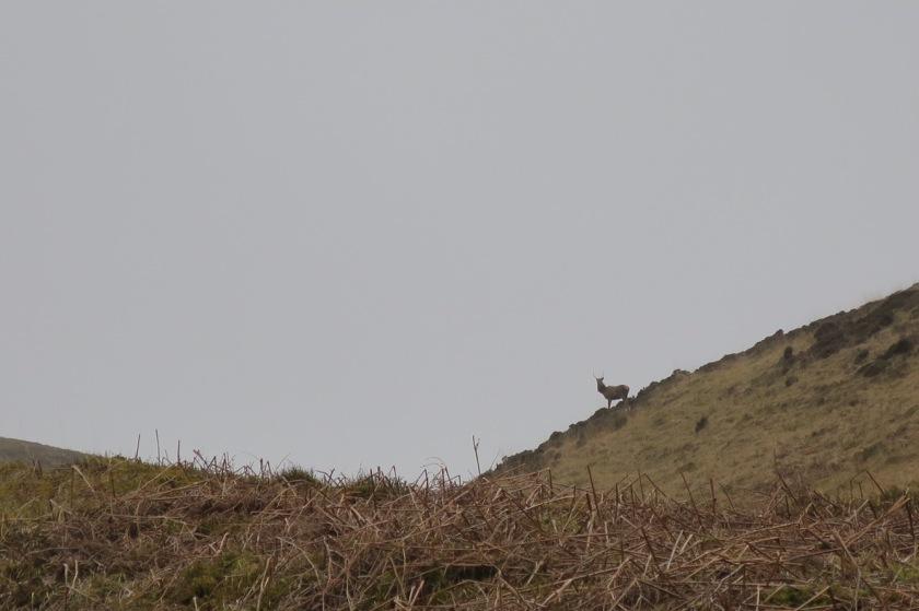 Deer on An Cruachan
